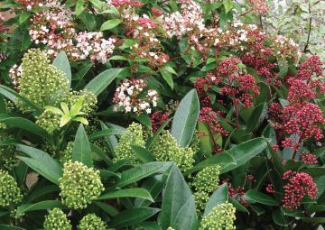 shrubs small and large available from Rowan Garden Centre - your independent plant specialist in the beautiful Buckinghamshire countryside