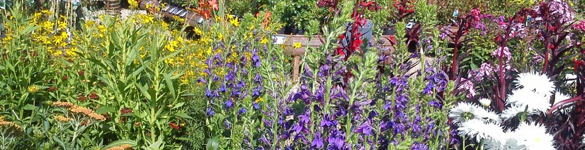lavender plants at Rowan Garden Centre - your independent garden centre in Buckinghamshire